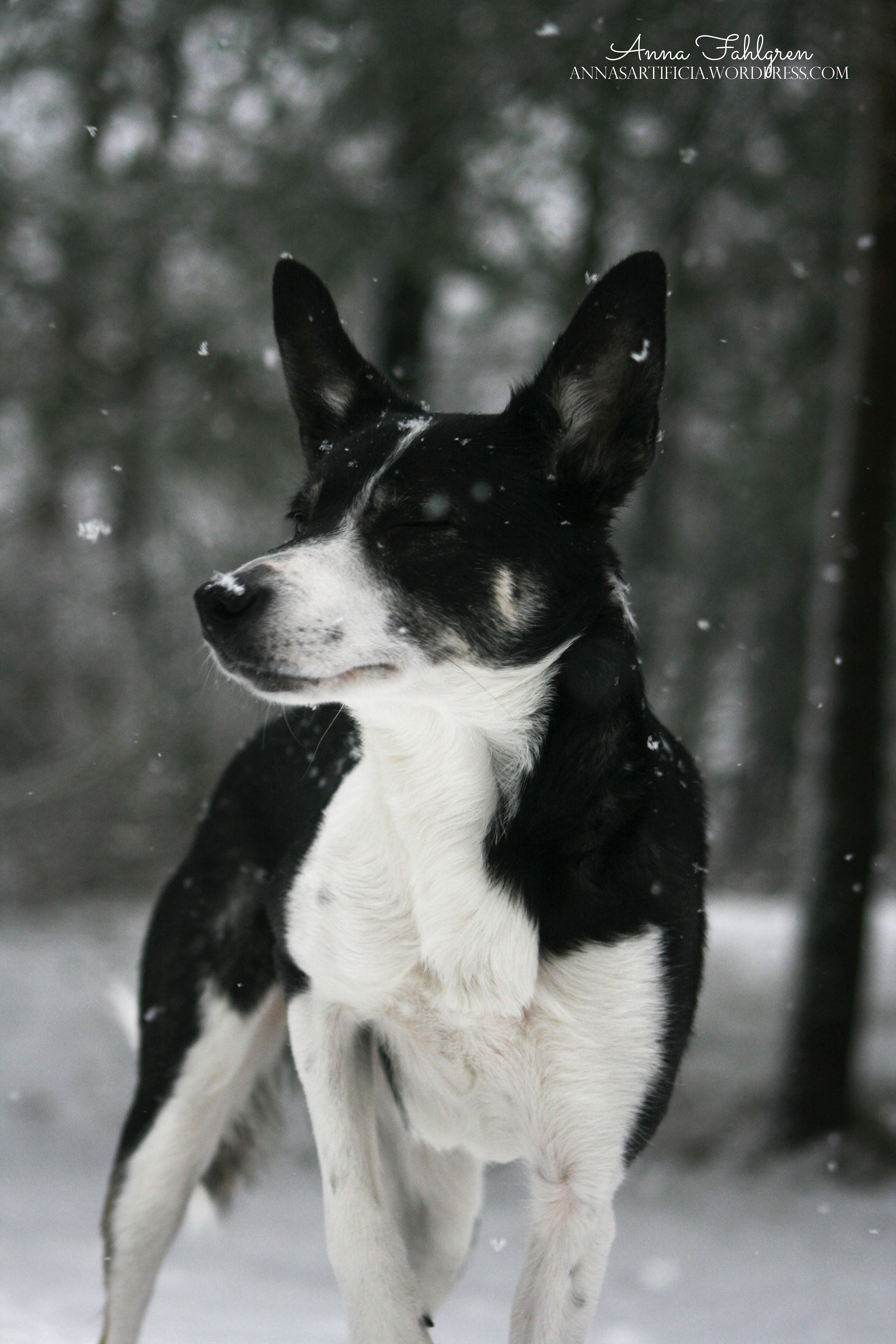 Gill med snö i ansiktet